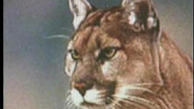 Mountain Lion Spotted Near UC's Greek Theater
