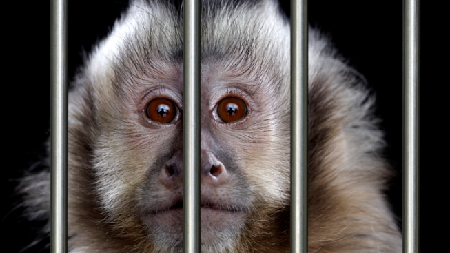Pet Monkey on House Arrest After Biting a Man