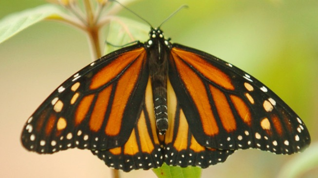 Monarch Mavens: Butterfly Time Flits into PG