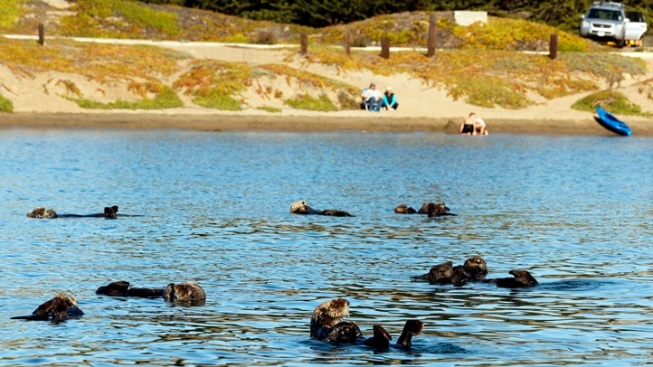 Morro Bay: Otters Seen in 'Record Numbers'