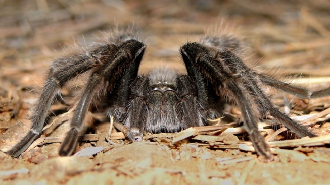 Admire the Tarantulas of Mount Diablo