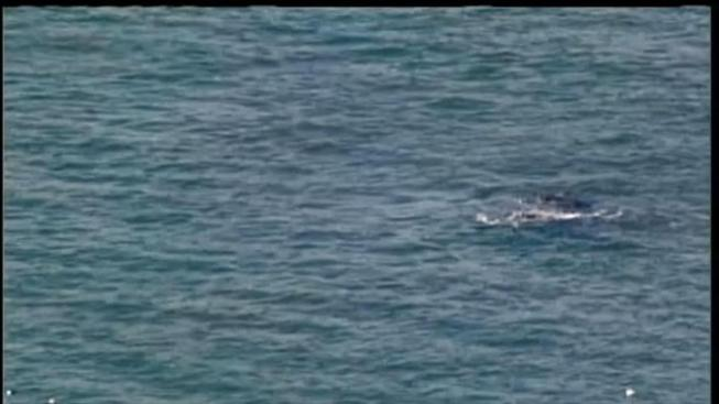 Another Gray Whale Sighting In Bay