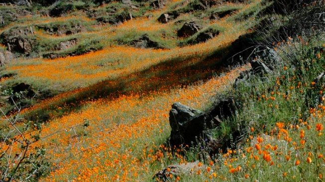 The Poppies of Mariposa County