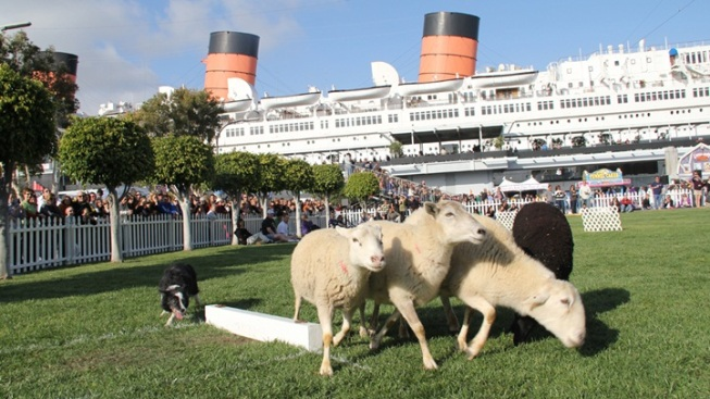 Sheeply Sweet: Queen Mary ScotsFestival