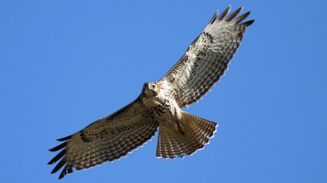 Birds of Prey: Lynch Canyon Hike