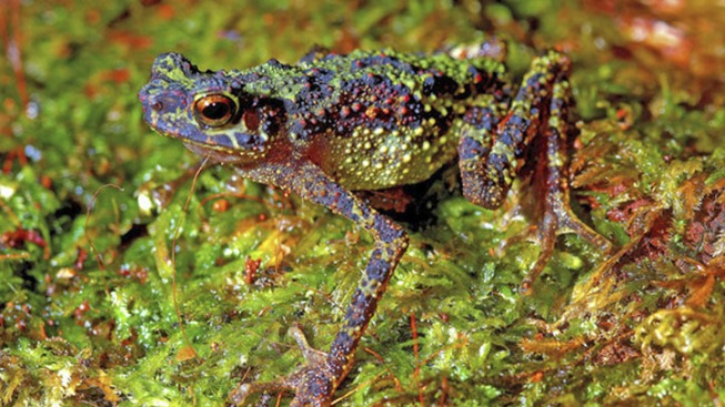 Rare Toad Not Seen for 87 Years Discovered in Borneo
