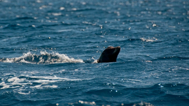 """Keekee"" the Sea Lion Released to Ocean"