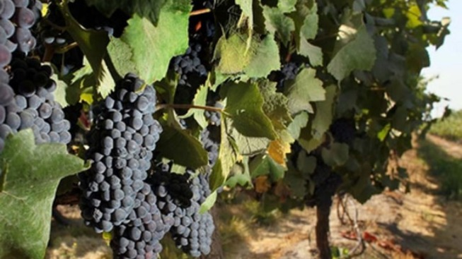 Vineyards Scramble to Harvest Before Rains