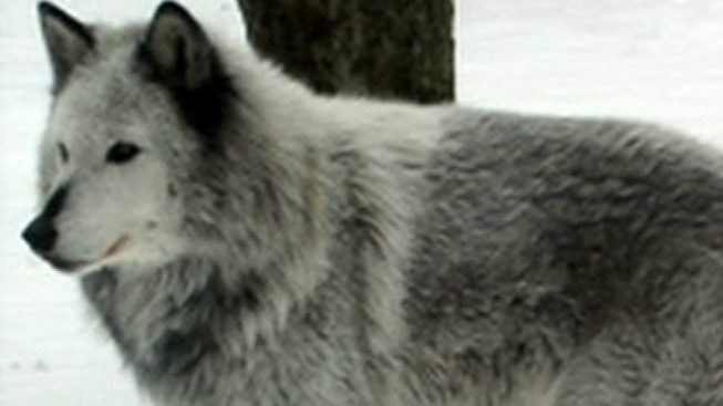Sex Offender Wants to Save Wolves