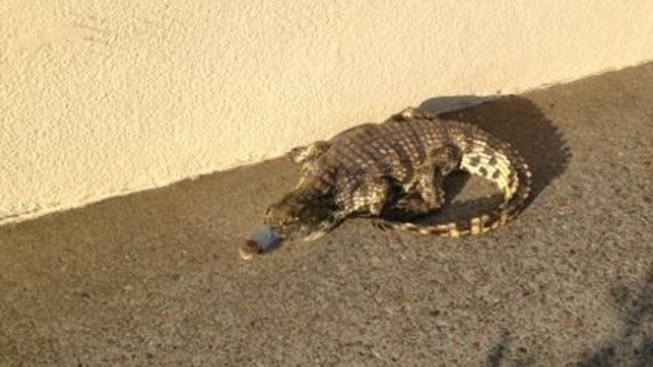 Nile Crocodile Abandoned at Suburban Shopping Center