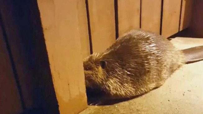 Injured Beaver Shows Up at East Bay School