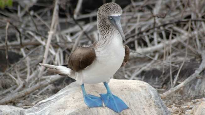 Rare Blue-Footed Booby Mysteriously Appears in LA County