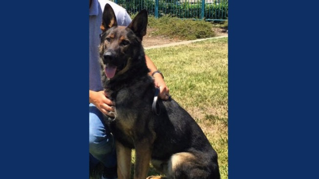 Fremont and San Jose Police Search For, Locate Missing Police K-9 Niko who Escaped from Willow Glen Yard Overnight