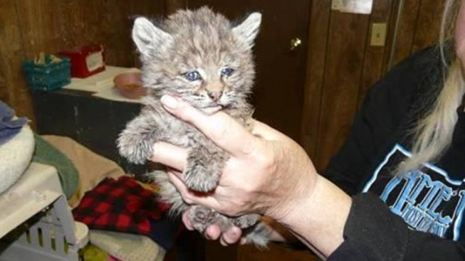 Bobcat Injured in Wildfire Released to Wild