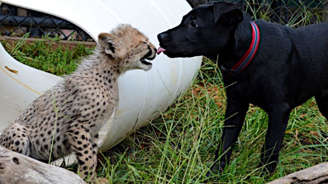 Dogs Make Fine Companions for Cheetahs at San Diego Zoo