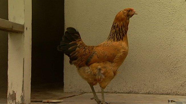 Farmer's Market Chicken Sales Halted