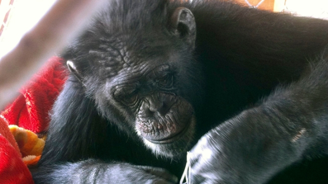 180-Pound Chimp Escapes Las Vegas Backyard — Again