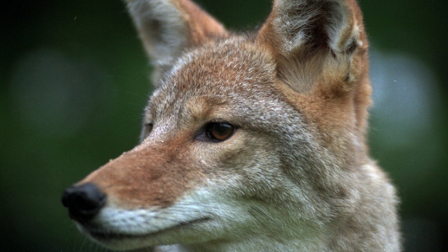 Wild Coyotes of Golden Gate Park Scare Pit Bulls