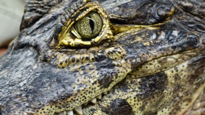 Snakes, Crocodiles, Komodo Dragons, Poisonous Frogs Smuggled On-Board Bus