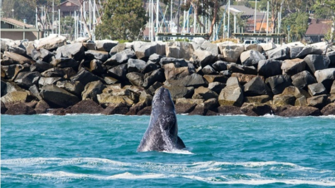 Two Weekends + Whale Wonders Aplenty, in Dana Point