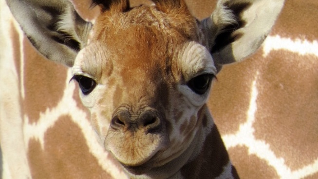 Baby Giraffe Gets a Dubs-tastic Name