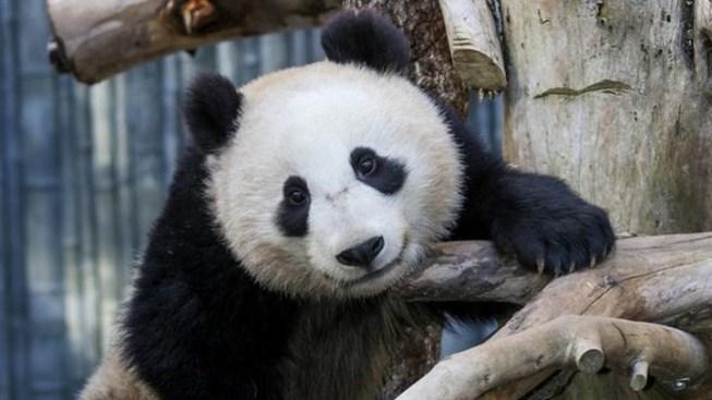 Rise 'N Shine, Pandas: An Early Morning Tour