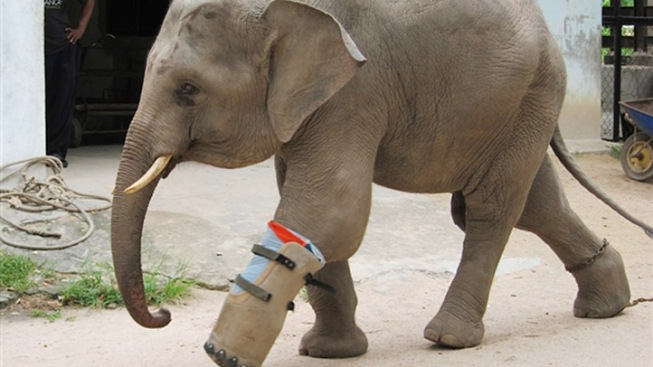 Pegleg Pachyderm Learns to Walk With Prosthesis