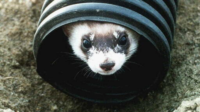 California Pet Owners Fight for Their Ferrets
