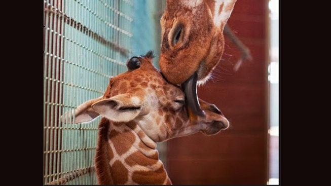 SF Zoo Introduces Baby Giraffe