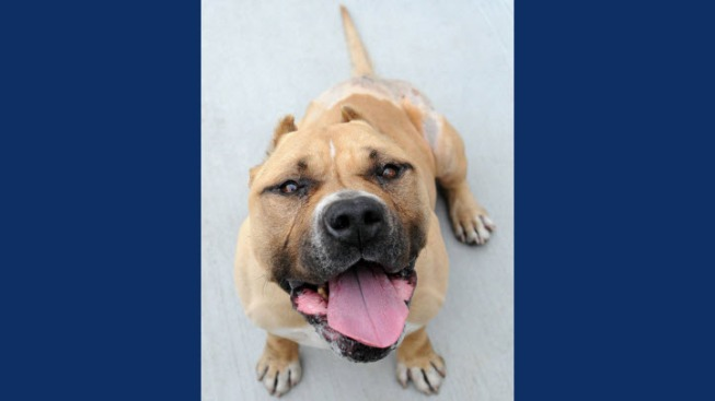Monterey County Animal Care Officials Search For Man Believed to Have Dumped Pitbull From Car