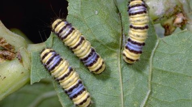 Invasive Moth Species Found in Napa Valley Vineyards