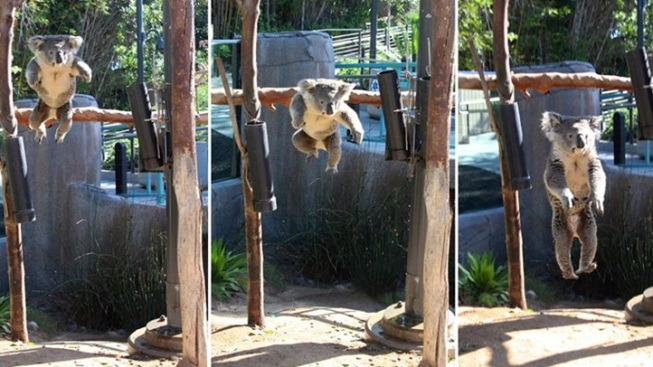 A Meme Is Born: San Diego Zoo Koala