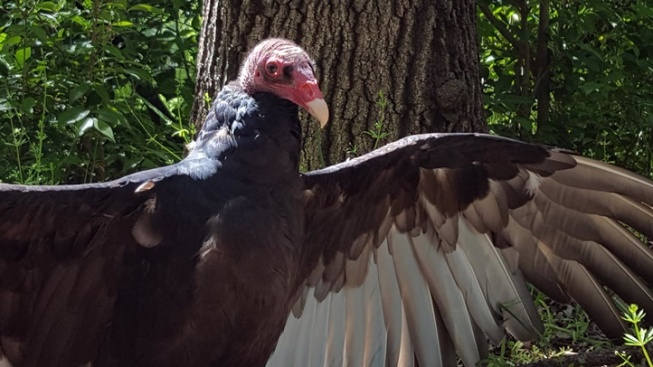 A Famous Turkey Vulture Turns 44