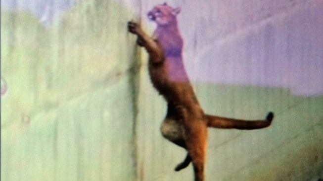 Dry Weather Could Push More Mountain Lions Into Bay Area Neighborhoods
