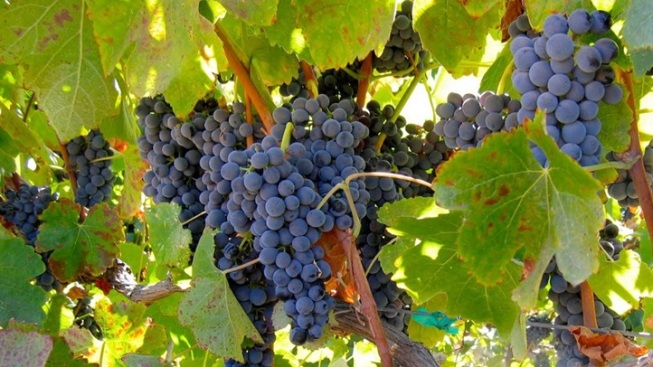 Grape Goodness: Livermore Harvest Wine Celebration