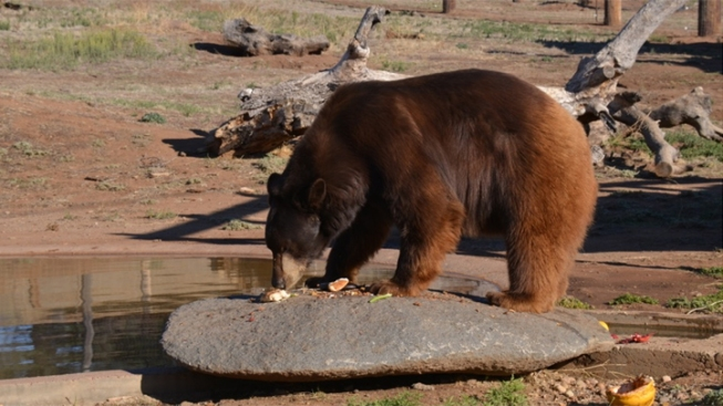 """Meatball"" the Bear at Center of Naming Rights Feud"