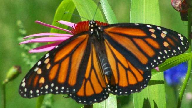 Opening: Monarch Butterfly Grove