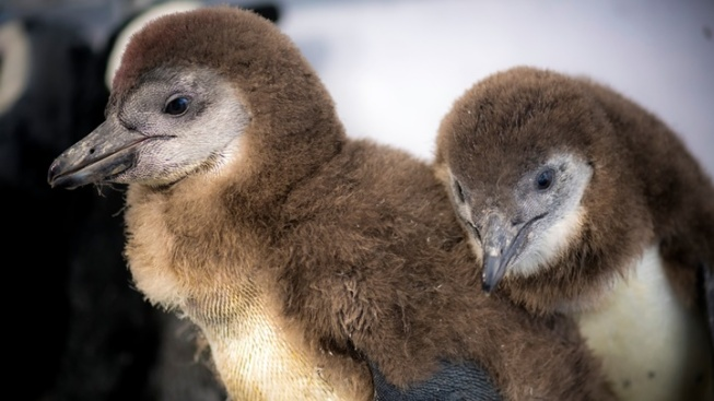 Help Name the Monterey Bay Aquarium Penguin Chicks