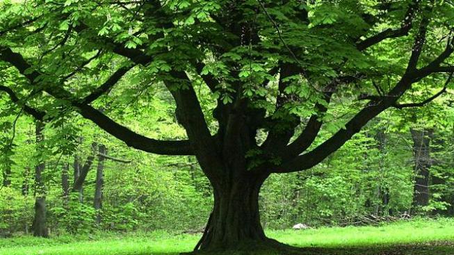 Drought Helping in Sudden Oak Death Fight