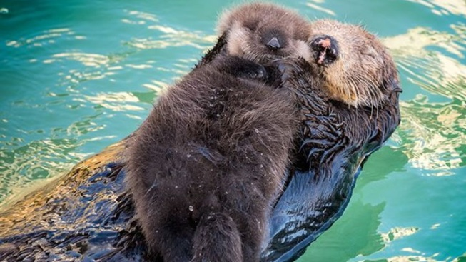 Winsome Wallpaper: Baby Otter + Mom