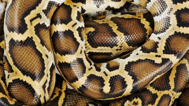 Man on Late-Night Bathroom Run Finds Python on Toilet Seat