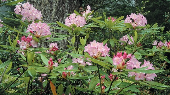 Spring Surprise: Rhododendrons Among the Redwoods