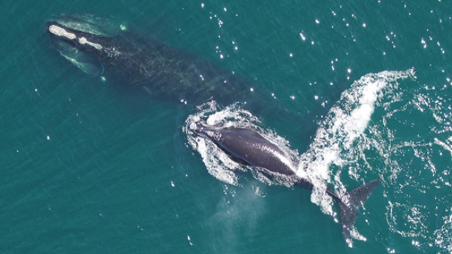 'Truly Alarming': No Babies for Endangered Right Whales