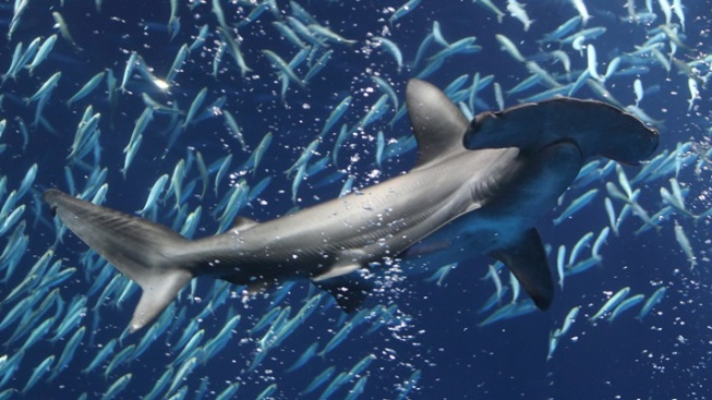 Mysteriously Magnificent: Shark Days in Monterey