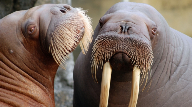 Baby Walrus Can't Beat the Odds at Six Flags - NBC Bay Area