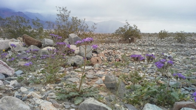 Bright Buds, Big Sky: Death Valley Spring Break