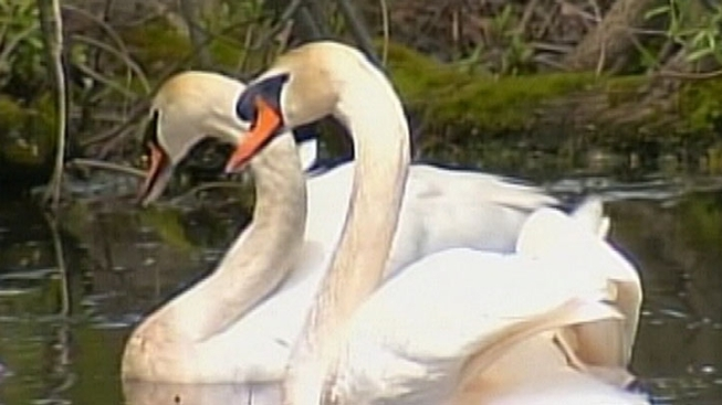 NY Swans Targeted for Eradication Get Reprieve