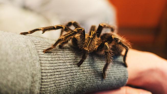 Neato: It's Nearly Tarantula Time in Coarsegold