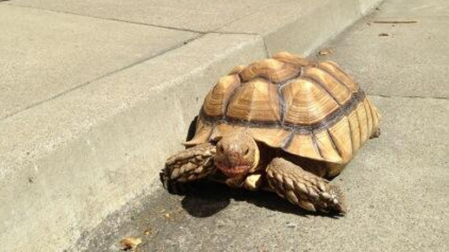 Lost Tortoise Found Wandering City Street