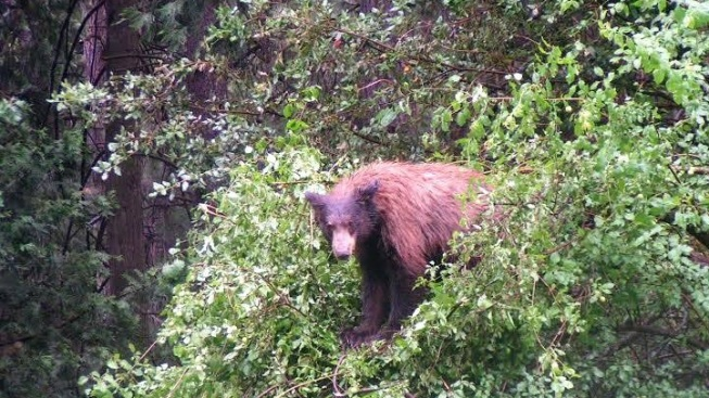 For the Bears: Yosemite's Apple Picking Day